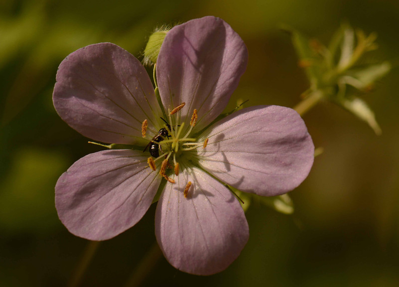 "Wild Geranium -- Geranium maculatum.  Native wildflowers attract wild bees and generally have a wide range of faunal associations -- Lasioglossum spp. here i think. Plant-pollinator partnerships are eons-old, highly integrated gears that drive ecosystem lifeforce.  <br /> <br /> '...all the flowers are forms of water<br /> the sun reminds them through a white cloud<br /> touches the patchwork spread on the hill<br /> the washed colors of the afterlife<br /> that lived there long before you were born<br /> see how they wake without a question<br /> even though the whole world is burning' ~ W. S. Merwin, ""Rain Light"""