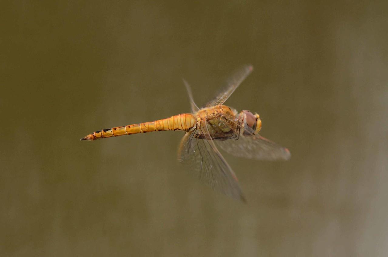Wandering Glider (m) -- Pantala flavescens