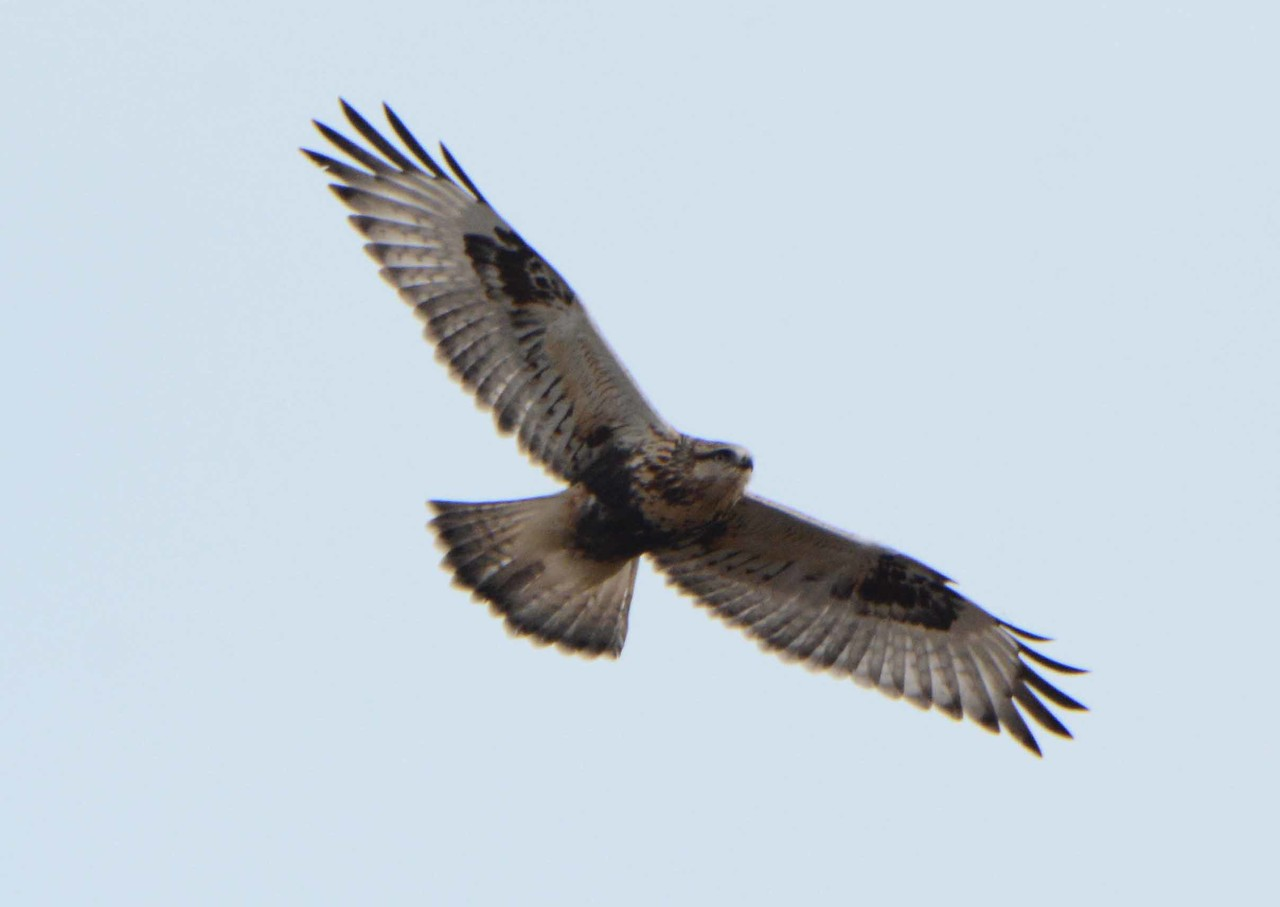"Rough-legged Hawk (light morph juvenile) -- Buteo lagopus<br /> <br /> ""What we seek when we wander usually leads us back home."" ~ Gina Greenlee"