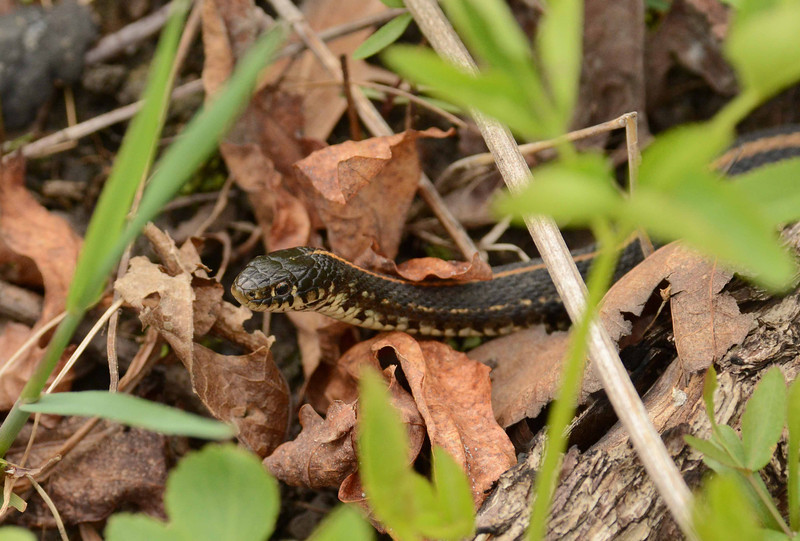 "a young Plains Garter Snake -- Thamnophis radix, slides into view<br /> <br /> 'This nation is founded on blood like a city on swamps<br /> Yet its dream has been beautiful and sometimes just<br /> That now grows brutal and heavy as a burned out star.' ~ Marge Piercy, ""The Peaceable Kingdom"""