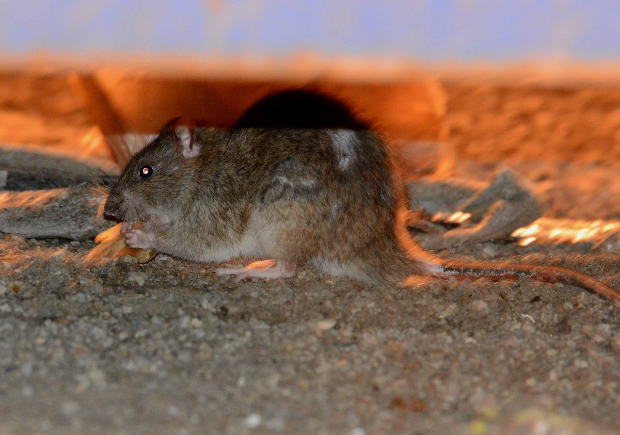 Norway Rat -- Rattus norvegicus, snacking on a chapati<br /> <br /> 'The streets were dark with something more than night.' ~ Raymond Chandler