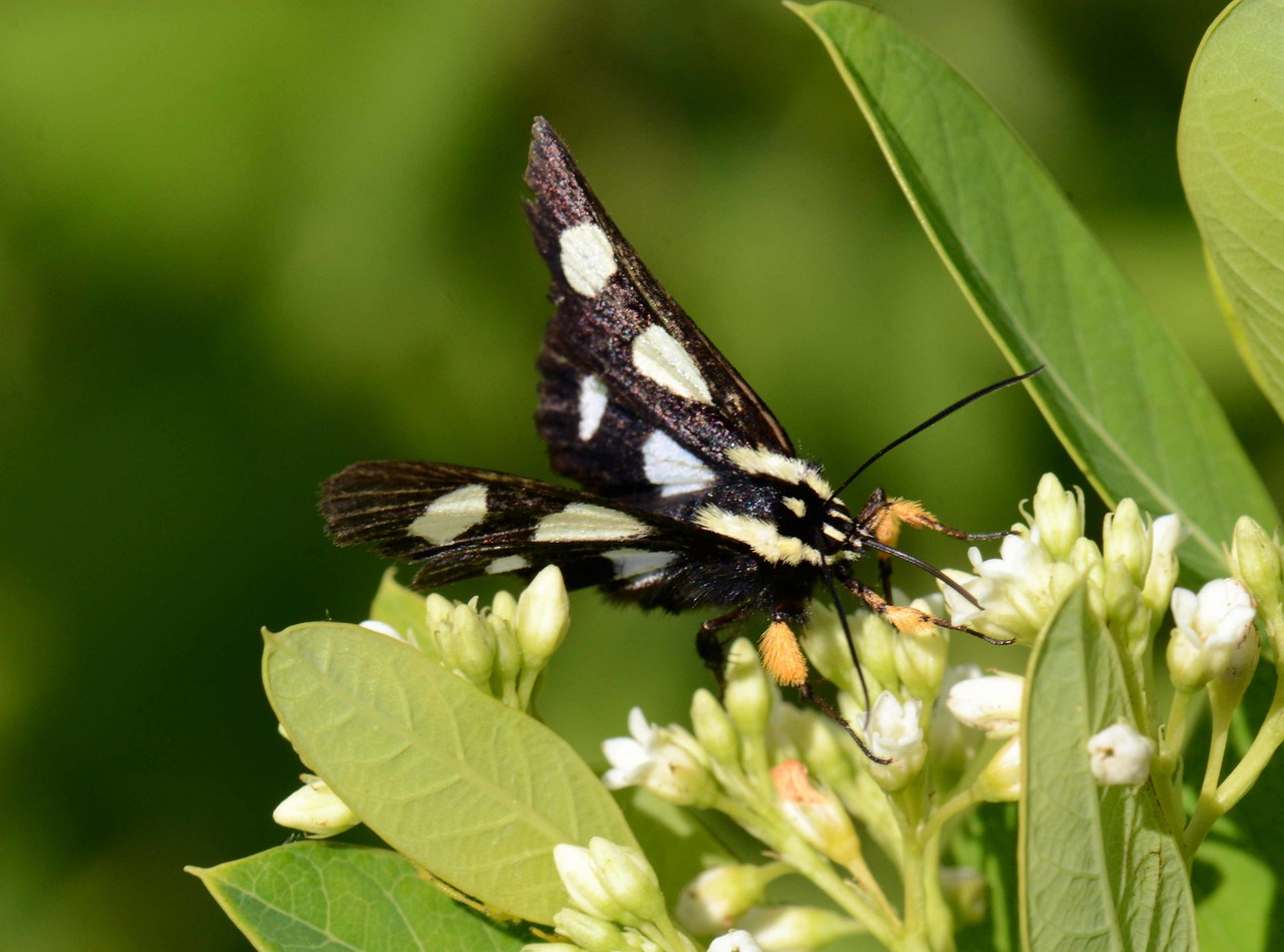 """Eight-spotted Forester -- Alypia octomaculata, Hodges# 9314 MPG 931979, on Bastard Toadflax<br /> <br /> """"The human soul needs actual beauty more than bread."""" ~ D. H. Lawrence"""