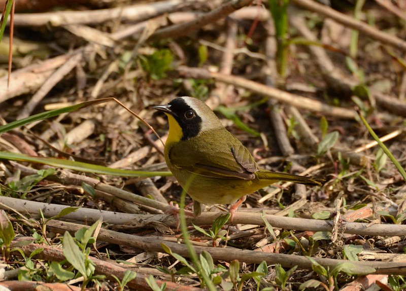 "Common Yellowthroat (m) -- Geothlypis trichas<br /> <br /> '...I touch the day<br /> I taste the light<br /> I remember' ~ William Stanley Merwin, ""Eye of Shadow"""