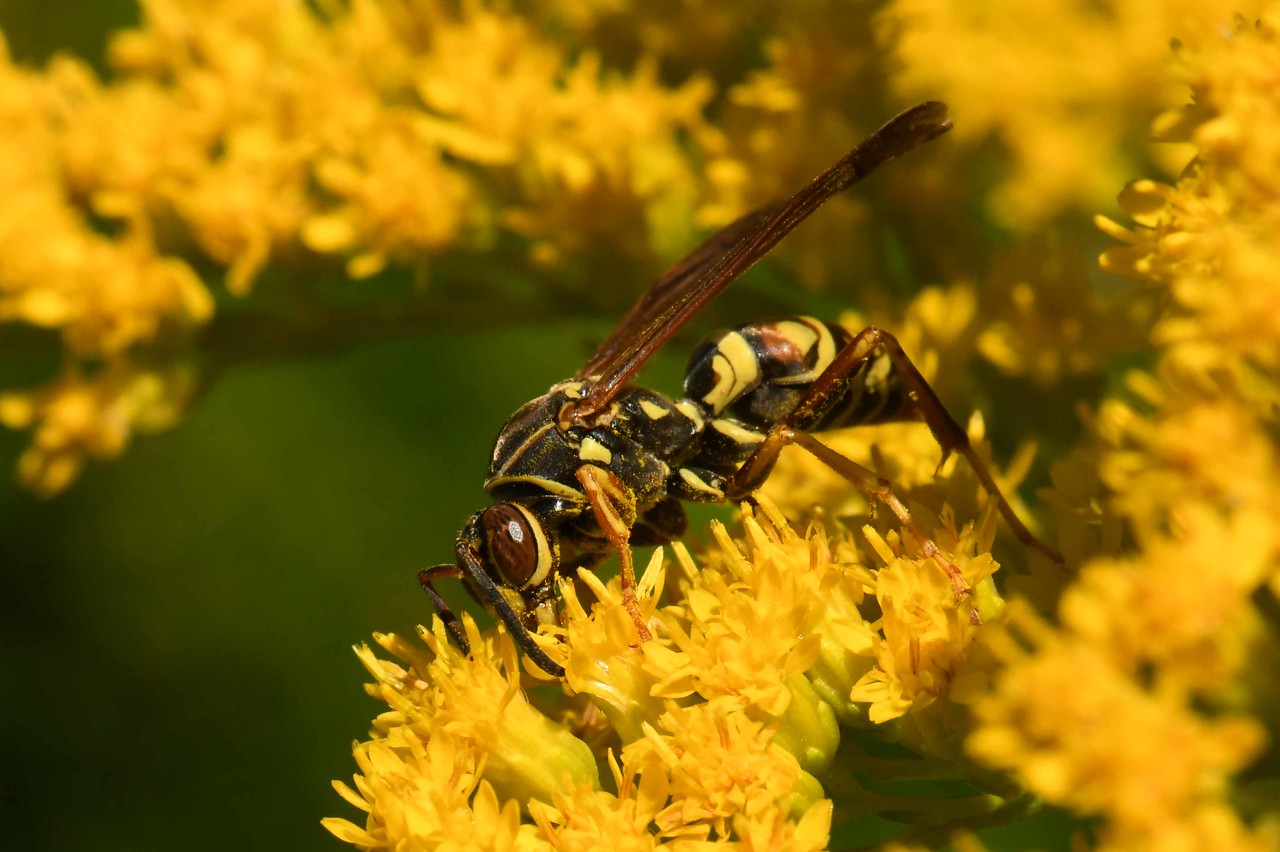 Paper Wasp -- Polistes bellicosus, on Goldenrod -- Solidago spp., Daisy Family Compositae