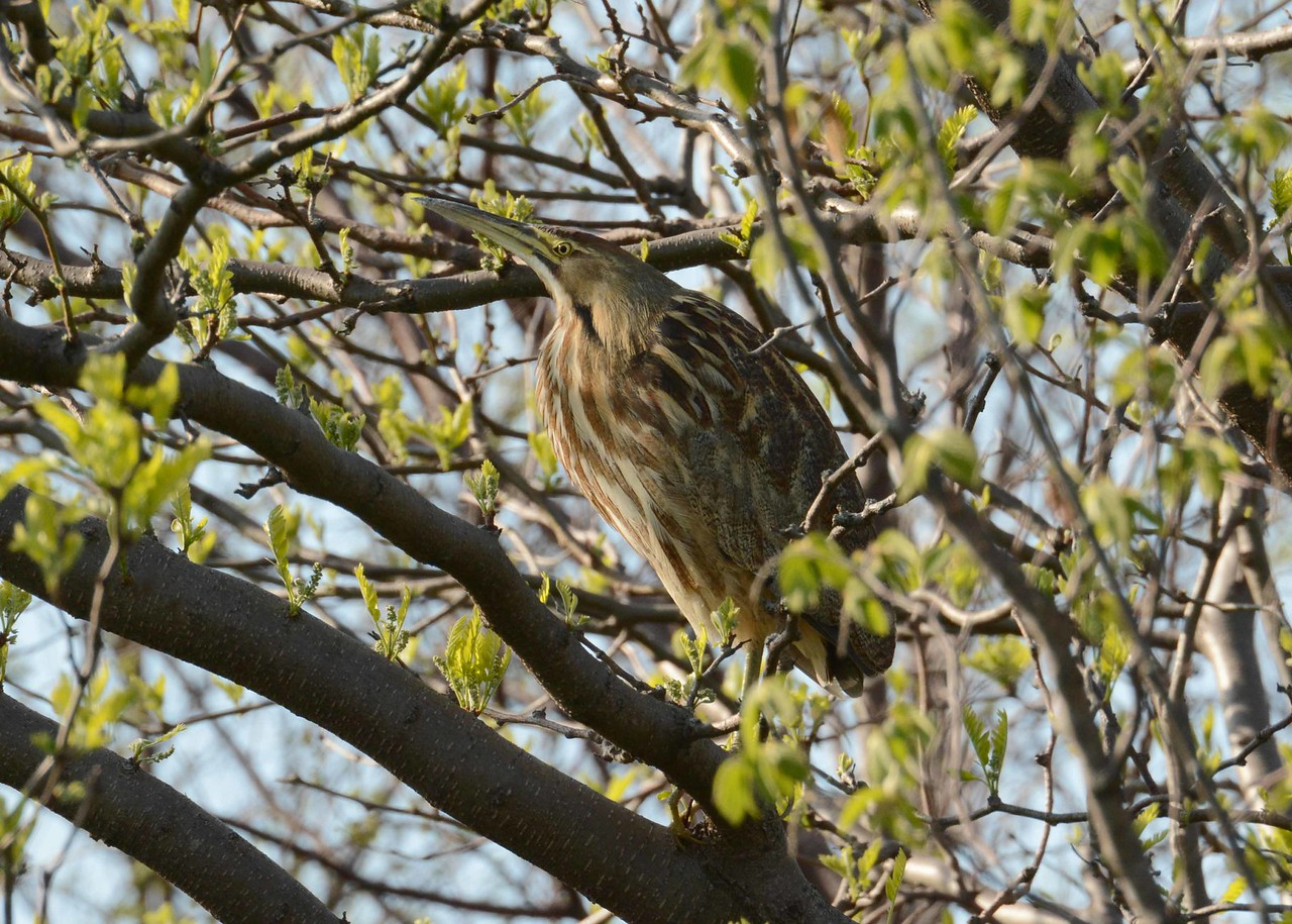 "The American Bittern -- Botaurus lentiginosus, is endangered in IL. This one took cover in a tree while migrating to suitable habitat.<br /> <br /> 'A thousand birds are in my grove,<br /> Melodious from morn to night;<br /> My fruit trees are their treasure trove,<br /> Their happiness is my delight.<br /> And through the sweet and shining days<br /> They know their lover and their friend;<br /> So I will shield in peace and praise<br /> My innocents unto the end.' ~ from ""Bird Sanctuary"" by Robert William Service"