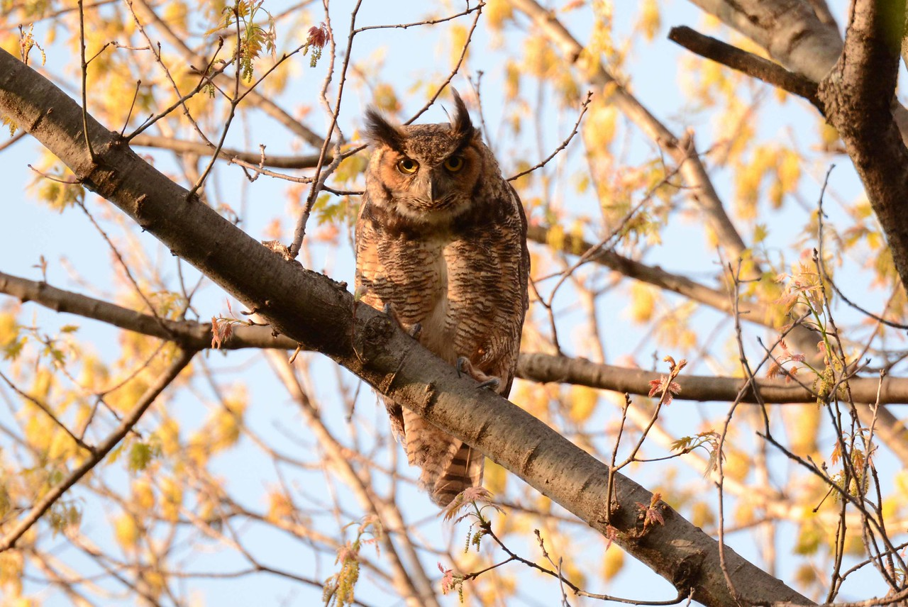 "Great Horned Owl -- Bubo virginianus<br /> <br /> ""Chicago is an October sort of city even in spring."" ~ Nelson Algren"
