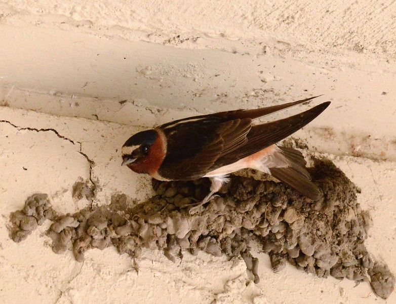 "Cliff Swallow -- Petrochelidon pyrrhonota, building the nest bowl<br /> <br /> ""When work is pleasure, life is a joy! When work is duty, life is slavery."" ~ Maxim Gorky"