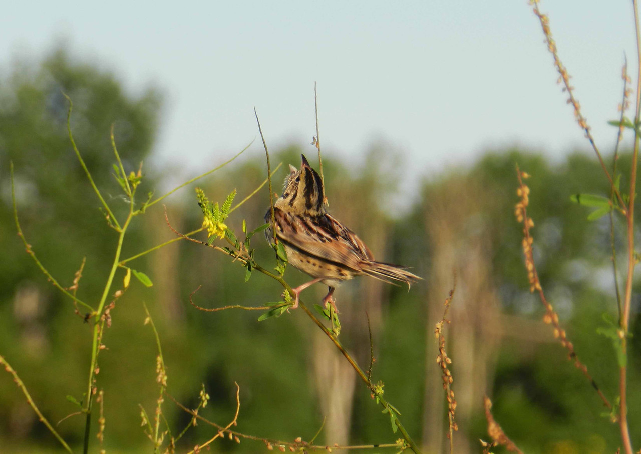 "Henslow's Sparrow -- Ammodramus henslowii, singing on territory <br /> <br /> ""tsilick, the least impressive of all bird songs"" ~ Kenn Kaufman"