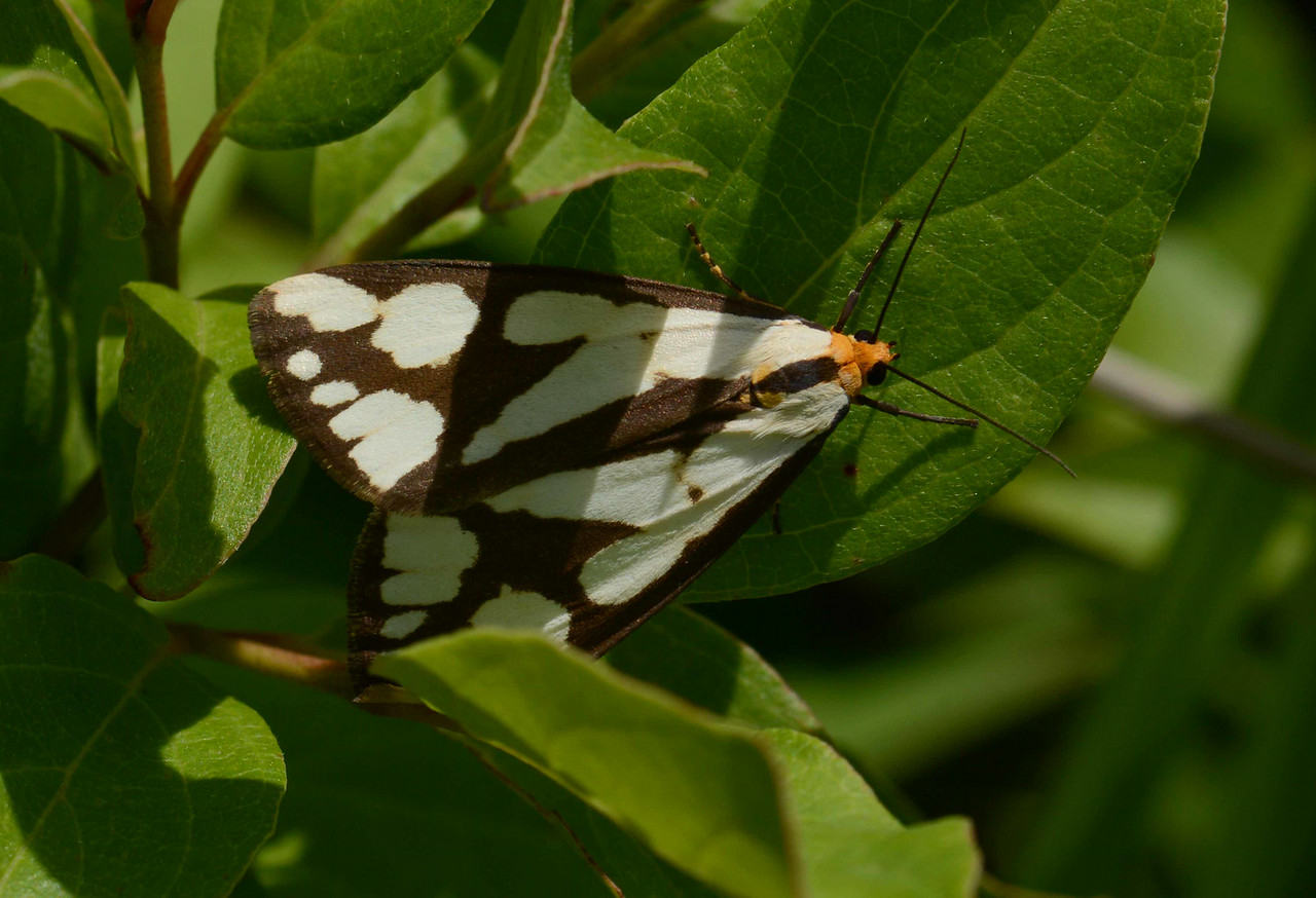 "appears to be a Confused Haplona -- Haploa confusa, a Tiger Moth, Hodges# 8112 MPG 930346. North America is home to more than 11,000 species of moths... confused? You're not alone. <br /> <br /> ""A sustainable future cannot be achieved without conserving biological diversity, not only for nature itself but also for all seven billion people who depend on it."" ~ Julia Marton-Lefevre"
