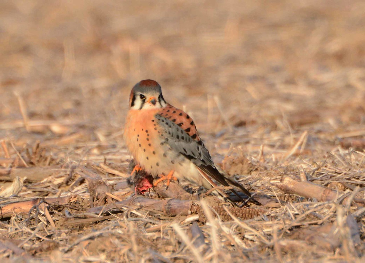"American Kestrel (m) -- Falco sparverius, has caught a rodent in a cornfield. <br /> <br /> ""I relive each day the ancient expectation of the hunt -- the setting out, and the trail at dawn.  What will we find today?"" ~ John Haines, ""The Stars, the Snow, the Fire"""
