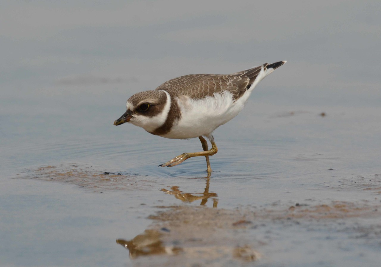 """Semipalmated Plover -- Charadrius semipalmatus<br /> <br /> 'Little birds of the night<br /> Aye, they have much to tell<br /> Perching there in rows<br /> Blinking at me with their serious eyes<br /> Recounting of flowers they have seen and loved<br /> Of meadows and groves in the distance<br /> And pale sands at the foot of the sea<br /> And breezes that fly in the leaves.<br /> They are vast in experience<br /> These little birds that come in the night.' ~ Stephen Crane, """"Little Birds of the Night"""""""
