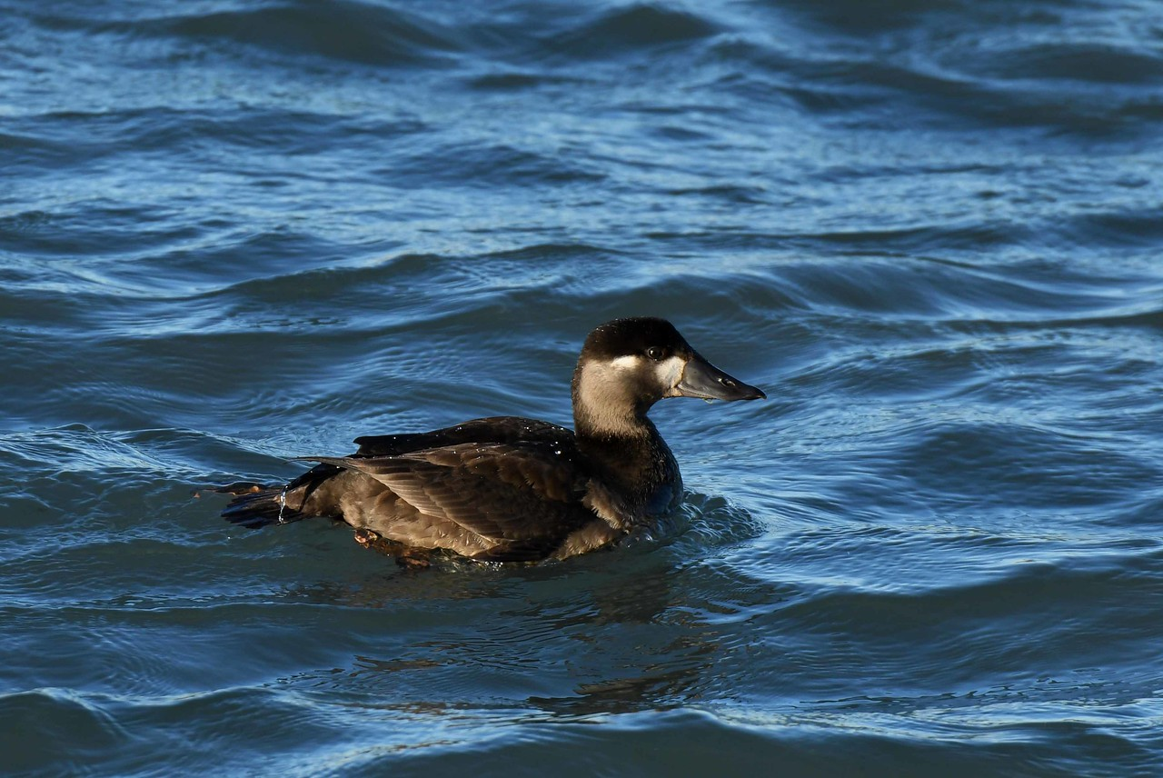 "Surf Scoter (f) -- Melanitta perspicillata, coastal birds sometimes include Lake Michigan in their migration routes<br /> <br /> 'We cannot know how much we learn<br /> From those who never will return,<br /> Until a flash of unforeseen<br /> Remembrance falls on what has been.' ~ from ""Flammonde"" by Edwin Arlington Robinson"