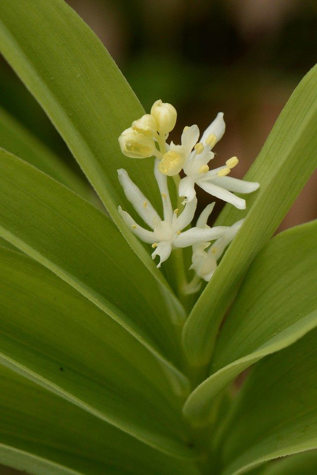 "Starry False Solomon's Seal -- Smilacina stellata, native perennial in the Lily Family, flowers attract numerous local pollinators, berries eaten by a range of woodland birds and mammals.<br /> <br /> ""The day I see a leaf is a marvel of a day."" ~ Kenneth Patton"