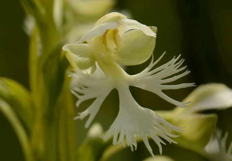 """Eastern Prairie Fringed Orchid -- Platanthera leucophaea. This Federally threatened species was once abundant in the Chicago region but is now endangered in IL and other neighboring states.<br /> <br /> """"If a time machine could take us back to the swales, prairies and woodlands surrounding the southern shore of Lake Michigan, early 1800s, we would see biodiversity paralleled only by the tropics."""" ~ Kathleen Marie Garness"""
