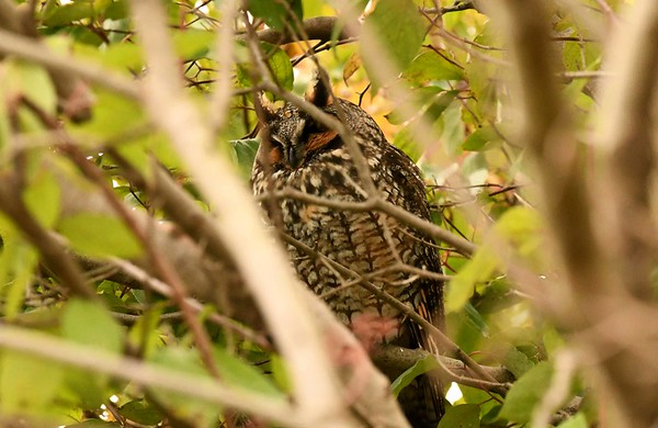 """Long-eared Owl -- Asio otus  """"Finally we learned to know why we did these things.  The animals were very beautiful.  Here was life from which we borrowed life and excitement.  In other words, we did these things because it was pleasant to do them."""" ~ John Steinbeck, """"The Log from the Sea of Cortez"""", 1941."""