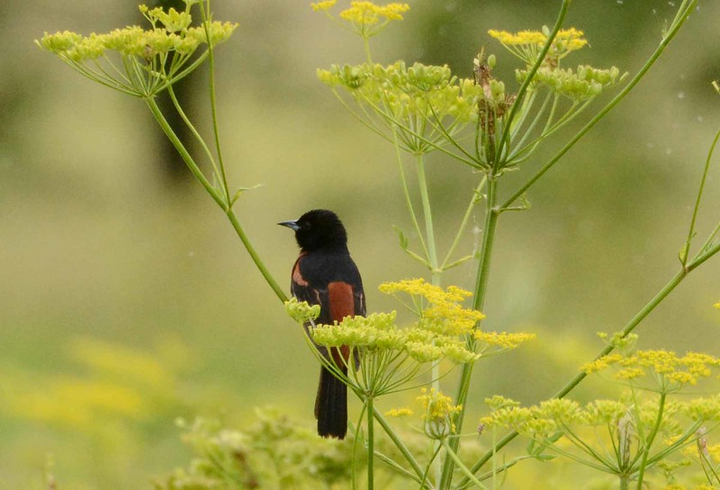 "Orchard Oriole (m) -- Icterus spurius, on Wild Parsnip<br /> <br /> 'A poor life this if, full of care,<br /> We have no time to stand and stare.' ~ William Henry Davies, ""Leisure"""