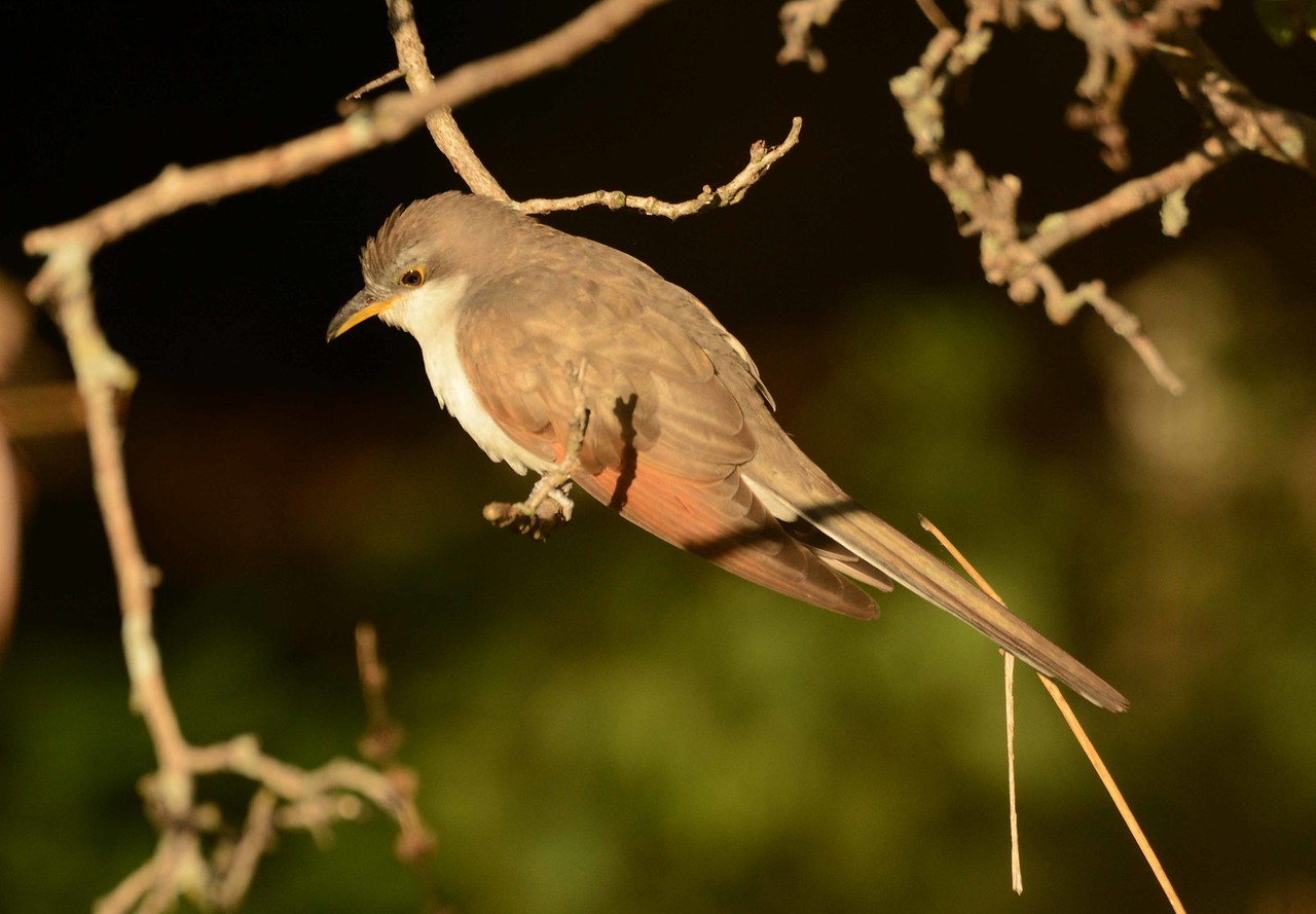 "Yellow-billed Cuckoo -- Coccyzus americanus, long-distance migrant winters as far south as Argentina.<br /> <br /> 'If we could fly would there still be numbers<br /> apart from the seasons<br /> in sleep I was flying south<br /> so it was autumn<br /> numberless autumn with its leaves<br /> already far below me<br /> some were falling into <br /> the river of day<br /> the invisible surface<br /> that remembers and whispers<br /> but does not tell even in sleep<br /> not this time.' ~ William Stanley Merwin, ""Without Knowing"""