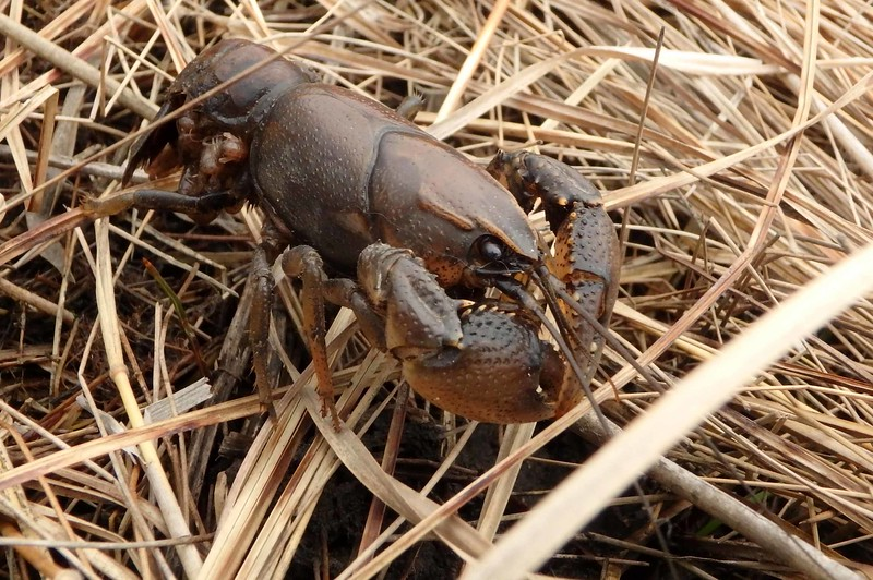 Prairie Crayfish -- Procambarus gracilis, female carrying young