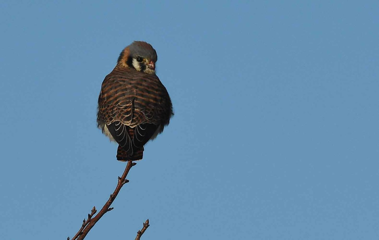 """American Kestrel (f) -- Falco sparverius<br /> <br /> """"Man is the only creature that refuses to be who he really is."""" ~ Albert Camus"""