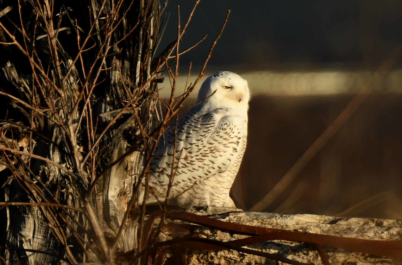 Snowy Owl (m) -- Bubo scandiacus. Early December snowfall delights the morning.