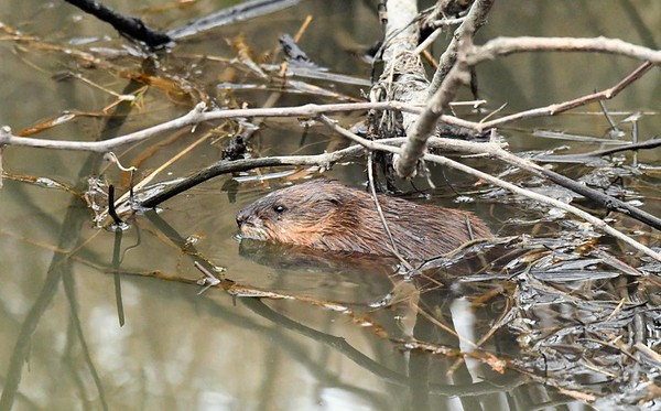 Common Muskrat -- Ondatra zibethicus, out on an overcast and warm December morning