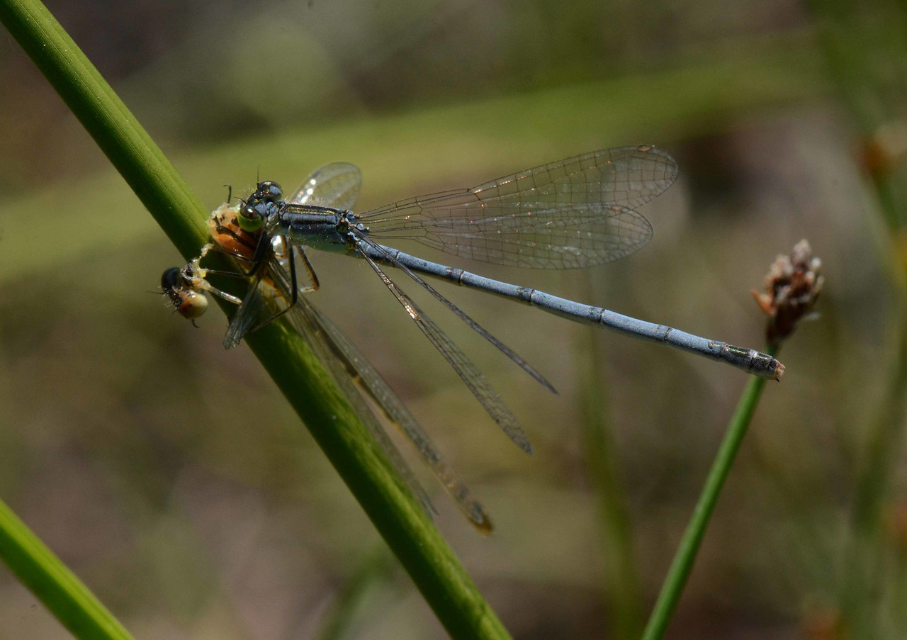 "Eastern Forktail (f) -- Ishnura verticalis, eating a newly emergent damselfly<br /> <br /> ""True friends stab you in the front."" ~ Oscar Wilde"