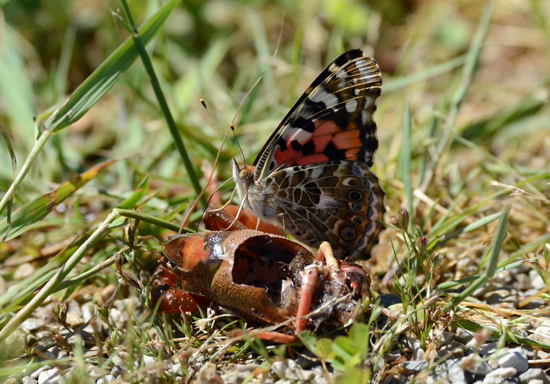 "Painted Lady -- Vanessa cardui, sampling a raccoon's crawdad leftovers. <br /> <br /> '...They tell me you are wicked and I believe them, for I have seen your painted women under the gas lamps luring the farm boys...' ~ from ""Chicago"" by Carl Sandburg"