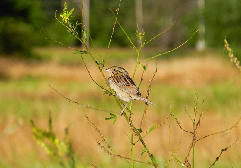 "Henslow's Sparrow -- Ammodramus henslowii, removed from IL Threatened Species list in 2009.<br /> <br /> 'Like her own prairies by some chance seed sown,<br /> Like her own prairies in one brief day grown,<br /> Like her own prairies in one fierce night mown.' ~ from ""Chicago"" by Bret Harte"