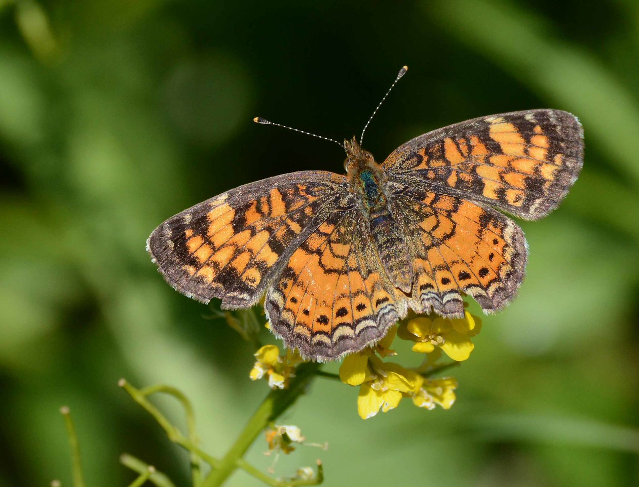 "Pearl Crescent -- Phyciodes tharos<br /> <br /> 'Dark pictures, thrones, stones that pilgrims kiss,<br /> poems that take a thousand years to die<br /> but ape the immortality of this<br /> red label on a little butterfly.' ~ Vladimir Nabokov, ""On Discovering a Butterfly"""