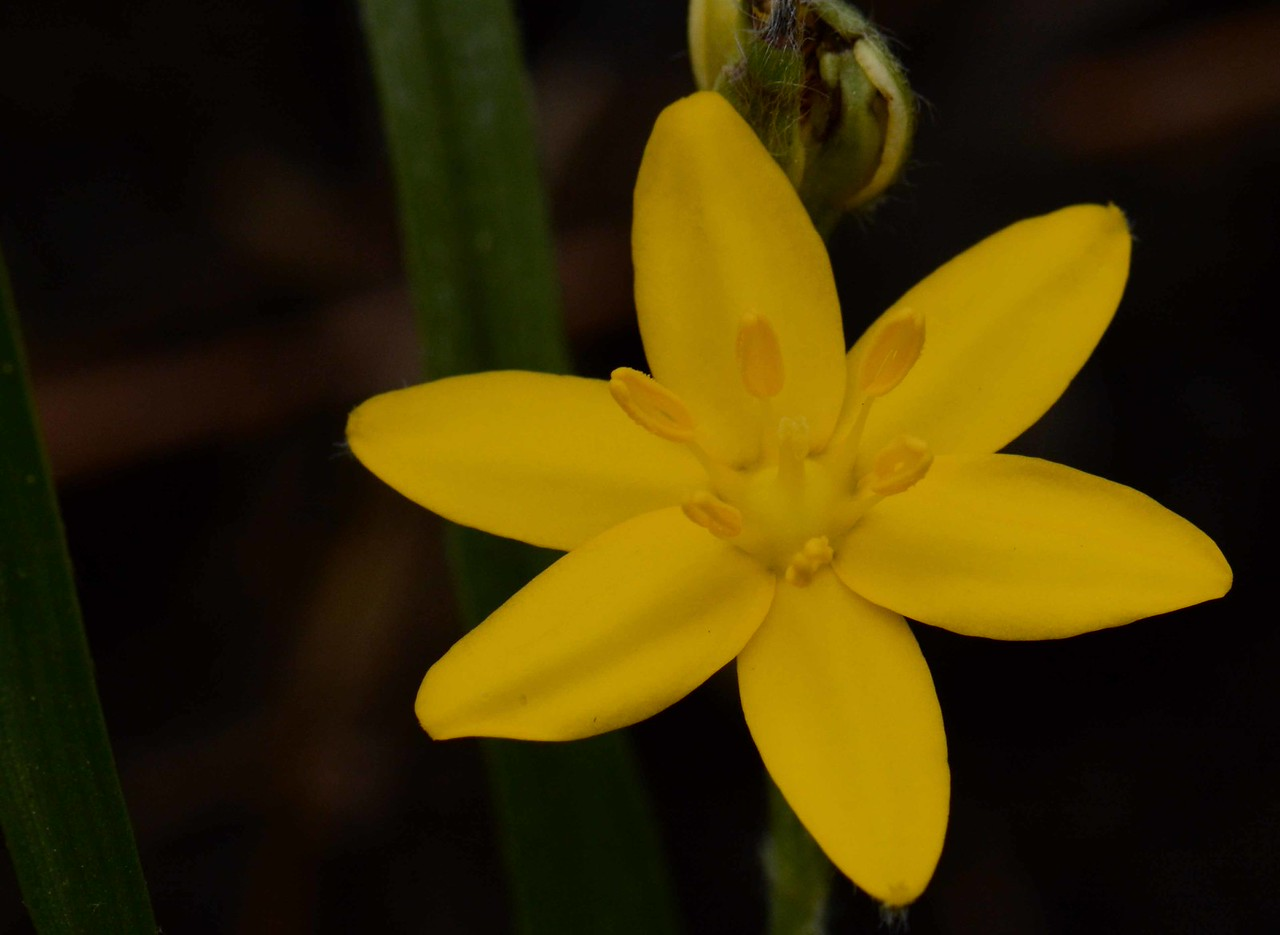 Yellow Star Grass -- Hypoxis hirsuta<br /> <br /> 'I believe a leaf of grass is no less than the journeywork of the stars.' ~ Walt Whitman