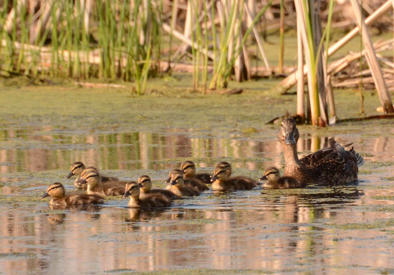 mother Mallard and ducklings -- Anas platyrhynchos<br /> <br /> 'We saw a knot of others, about a baker's dozen.' ~ Francois Rabelais, Works, Chapter 23