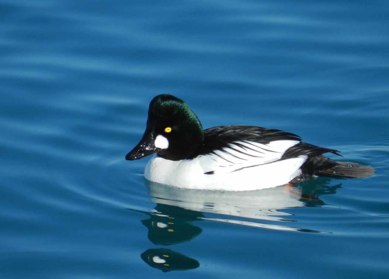 Common Goldeneye (m) -- Bucephala clangula -- nickname 'whistler' for the sound its wings make in flight.<br /> <br /> 'Pursue not the outer entanglements;<br /> Dwell not in the inner void; <br /> Be serene in the oneness of things;<br /> And dualism vanishes by itself.' ~ Verses on the Faith-Mind.