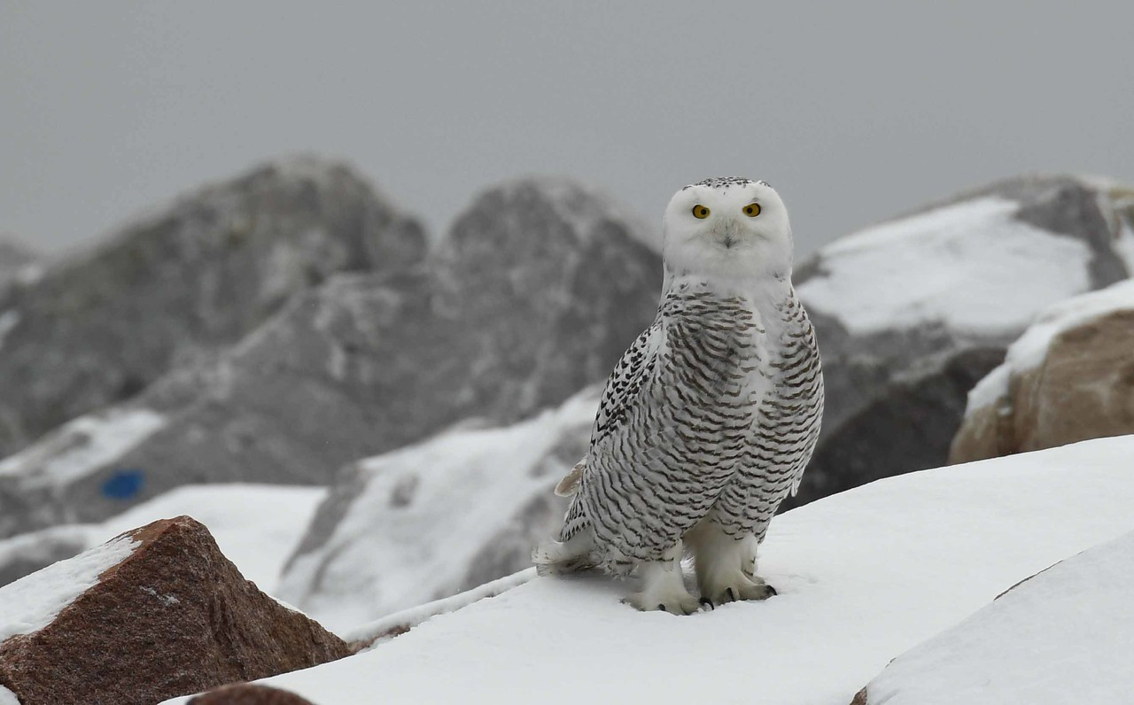 """Snowy Owl (f) -- Bubo scandiacus<br /> <br /> """"And above all, watch with glittering eyes the whole world around you because the greatest secrets are always hidden in the most unlikely places. Those who don't believe in magic will never find it."""" ~ Roald Dahl"""