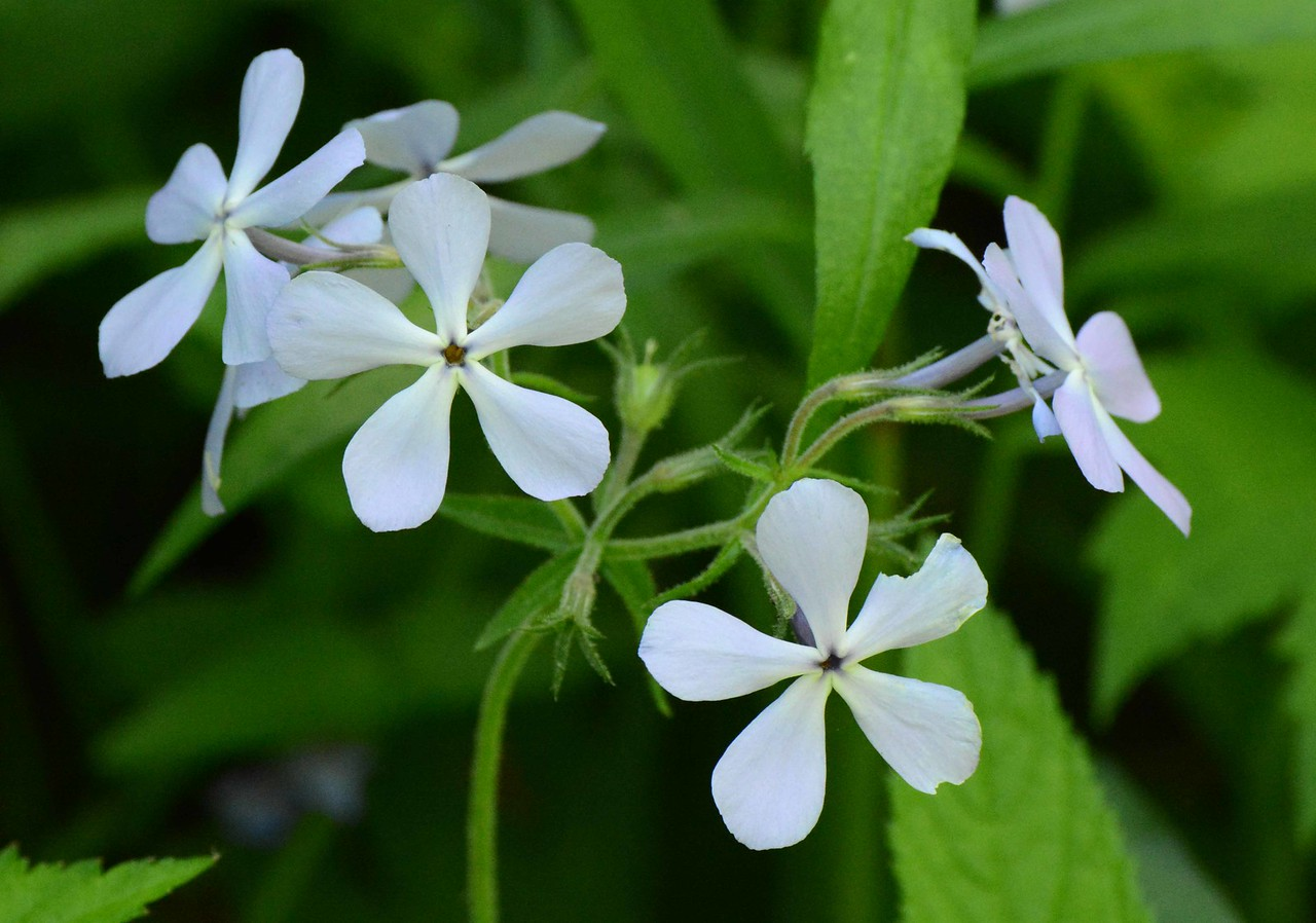 """Blue / Woodland Phlox -- Phlox divaricata laphamii<br /> <br /> 'The force that through the green fuse drives the flower<br /> Drives my green age; that blasts the roots of trees<br /> Is my destroyer.<br /> And I am dumb to tell the crooked rose<br /> My youth is bent by the same wintry fever...<br /> And I am dumb to mouth unto my veins<br /> How at the mountain spring the same mouth sucks...<br /> And I am dumb to tell the hanging man<br /> How of my clay is made the hangman's lime...<br /> And I am dumb to tell a weather's wind<br /> How time has ticked a heaven round the stars.<br /> And I am dumb to tell the lover's tomb<br /> How at my sheet goes the same crooked worm.' ~ from """"The Force That through the Green Fuse Drives the Flower"""" by Dylan Thomas, 1934."""