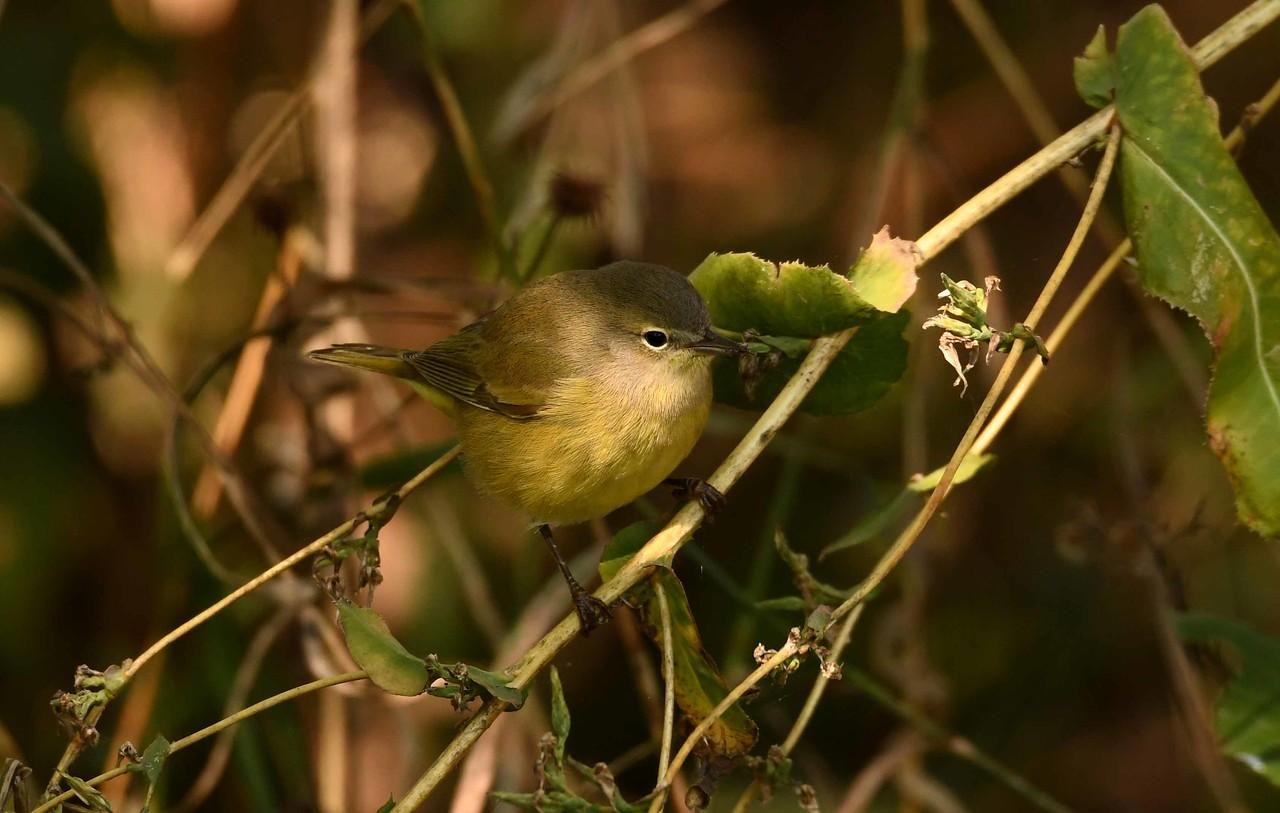 Nashville Warbler -- Oreothlypis ruficapilla
