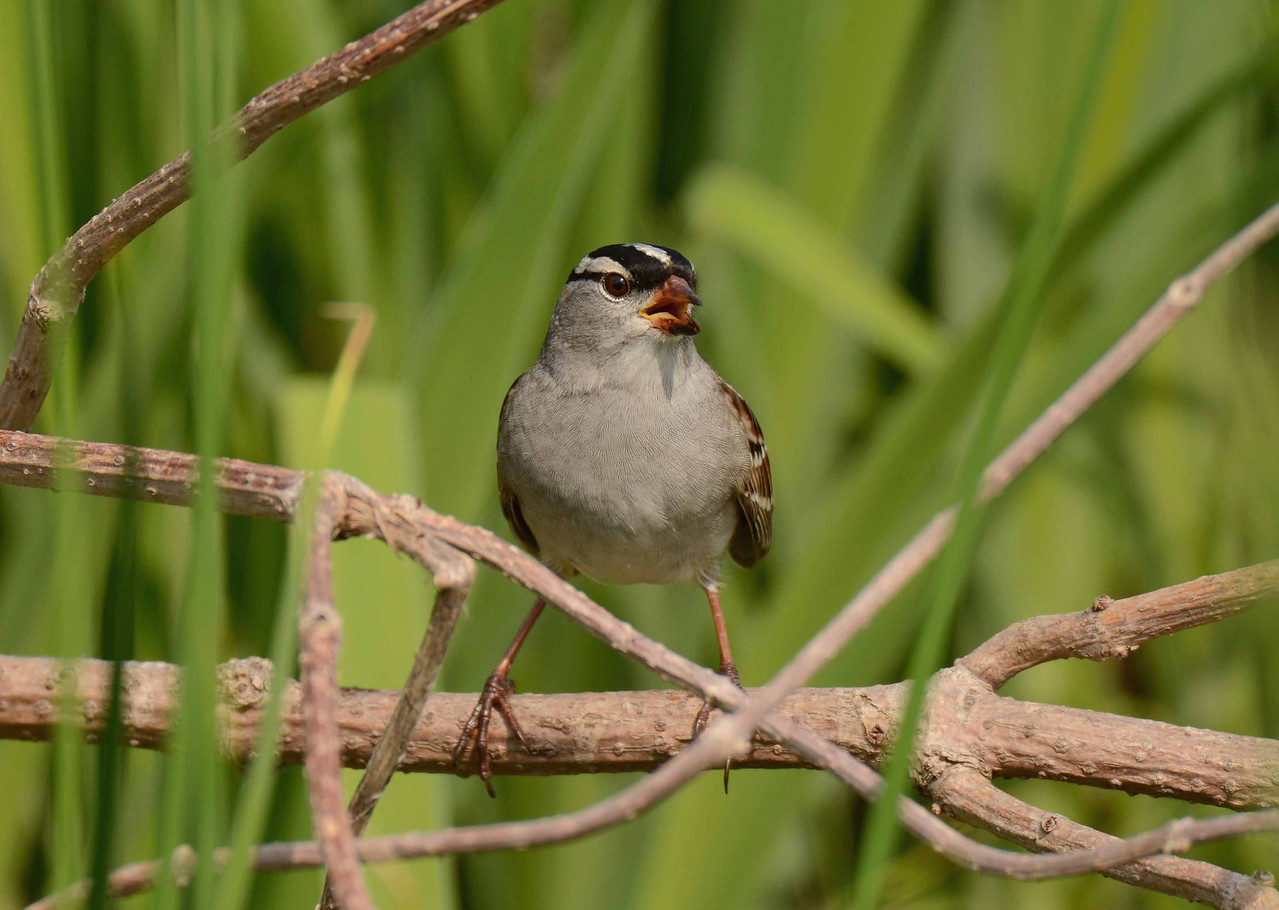"White-crowned Sparrow -- Zonotrichia leucophrys<br /> <br /> 'Of all the birds that sing and fly<br /> Between the housetops and the sky,<br /> The muddy sparrow, mean and small,<br /> I like, by far, the best of all.' ~ Samuel Hoffenstein, ""Songs About Life""."