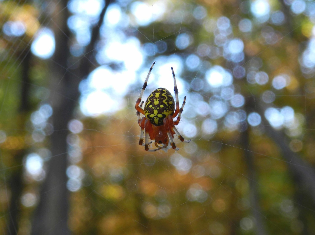 "Marbled Orbweaver -- Araneus marmoreus<br /> <br /> ""I would feel more optimistic about a bright future for man if he spent less time proving that he can outwit Nature and more time tasting her sweetness and respecting her seniority."" ~ E. B. White"