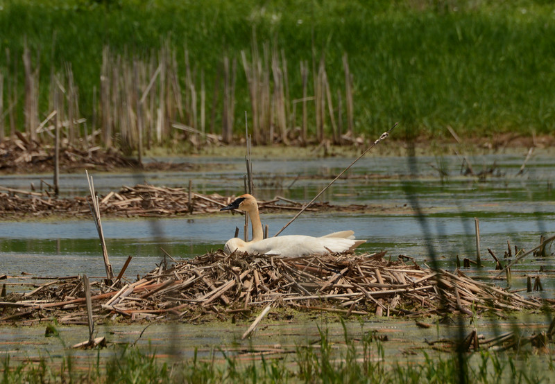 Trumpeter Swan -- Cygnus buccinator