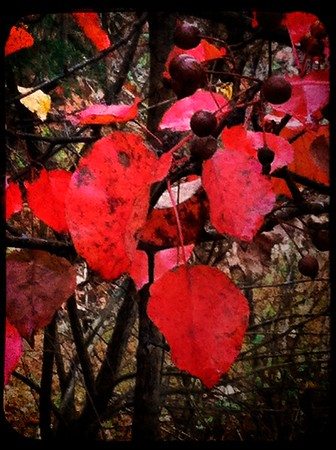 Autumn Reds |Ijamsville, MD