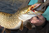 Irish Pike on the fly