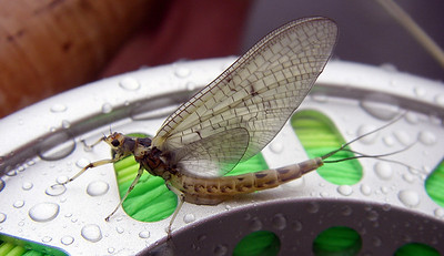 Irish Mayfly on reel