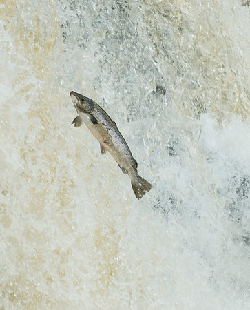 Large sea trout (4lb) jumping Assleagh Falls, River Erriff, Co. Galway Ireland