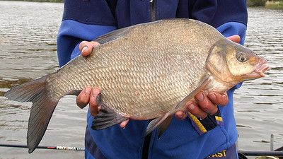 River Bann - Pristine bream from River Bann, Portglenone, Co Derry, N. Ireland
