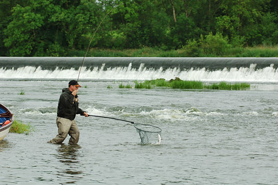 River Bann - Fly fisherman nets an Atlantic salmon at Carnroe, River Bann, N Ireland