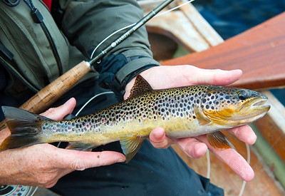 Lough Eske - Beautifully marked brown trout from Lough Eske, Donegal, Ireland