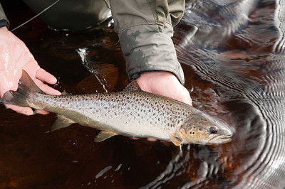 Returning an Irish sea trout