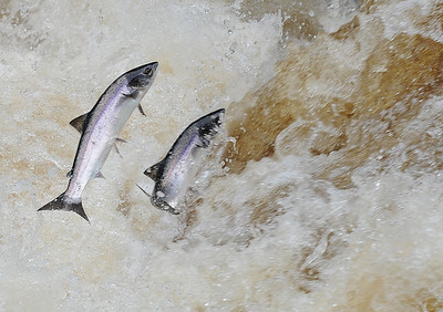Fresh run Atlantic salmon jumping the falls on the River Finn, Co Donegal, Ireland