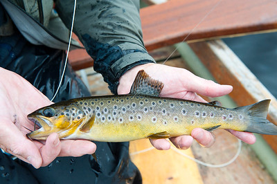 Lough Eske - Brown trout from Lough Eske, Co Donegal, Ireland