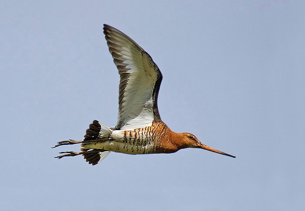 Black Tail Godwit. Published in The Breeding Birds of North East Scotland.