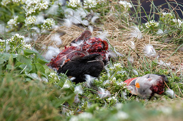 I happened to put a Gyr Falcon off this poor Puffin.